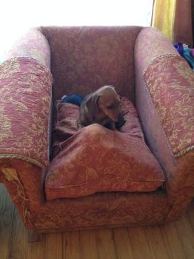 En aquest sofà hi ha dos gossos...