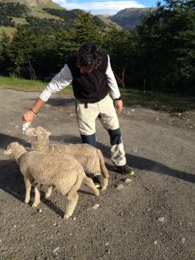 Donant d'esmorzar a les ovelles de l'hostal