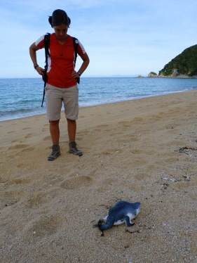 Ens trobem un pingüí blau mort...
