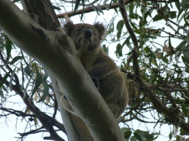 I trobem koales enfilats als alts eucaliptus