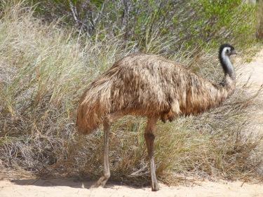 Un emu es passeja per la platja