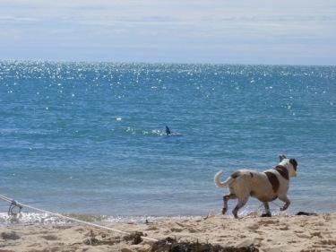 Un gos perseguint dofins