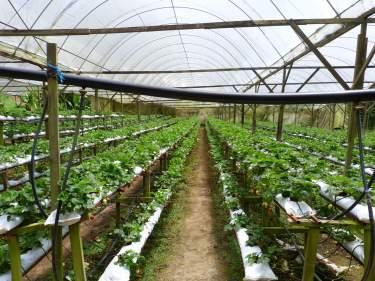 Plantacions de maduixes