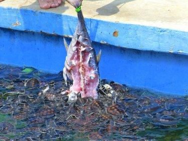 Tortugues devoradores de peix