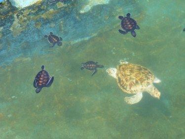 Hi ha una tortuga alvina