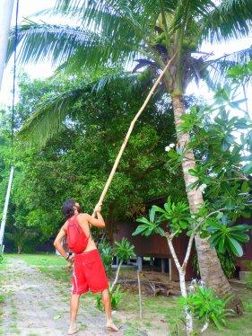 Collint cocos