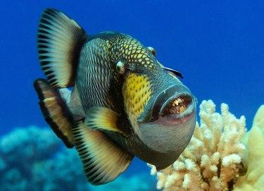 Trigger fish amb unes bones dents (foto del Sr. Google)