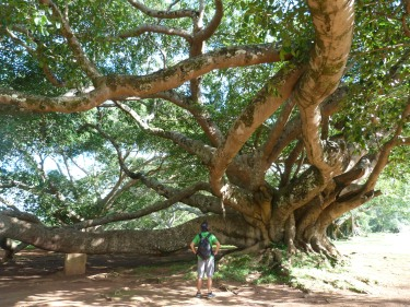 A Pindaya hi ha arbres enormes!