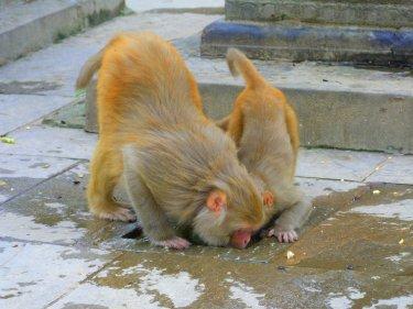 Al temple dels monos