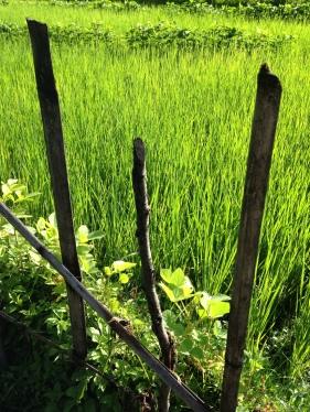 Verd camp d'arròs